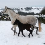 Nina Fontenail and her filly foal born on the 23/01/13 by Compton Place.
